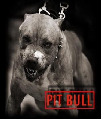 Картинка PIT BULL