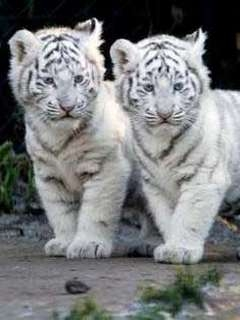 Картинка Tigers