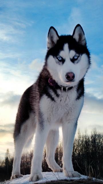 Картинка Husky Dog