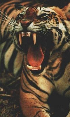 Картинка Тигр