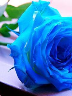 Картинка Голубая роза