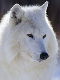 Картинка Arctic Wolf