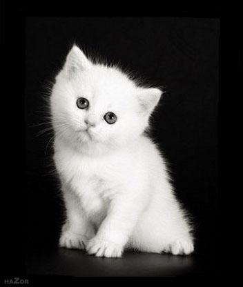 Картинка WHITE CAT