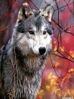 Картинка Wolf