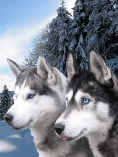 Картинка Северные волки