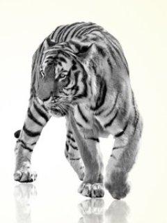 Картинка белый тигр