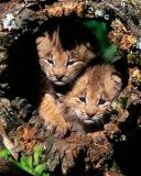 Картинка Тигрята