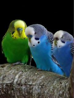 Картинка Попугайчики