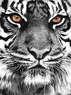 Картинка Год тигра