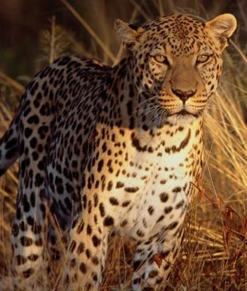 Картинка Леопарды
