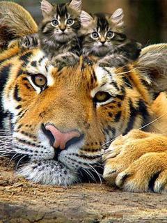 Картинка Котята и тигр