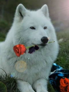 Картинка Волк с розой
