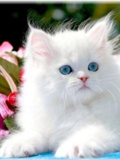 Картинка Голубоглазый котёночек