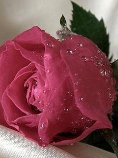 Картинка Роза